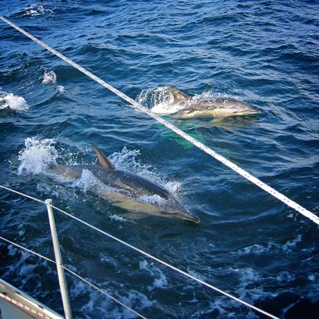Dolphins leaping from the sea beside a boat