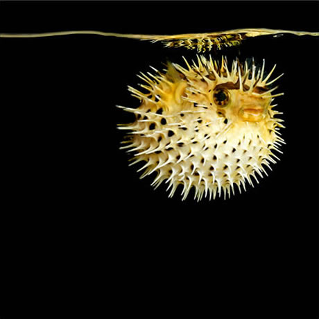 Mark Laita Puffer Fish Photo